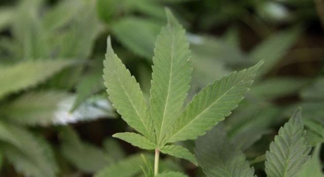 marijuana_5