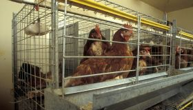 New battery cage design allows for more room and resting space for chickens UK