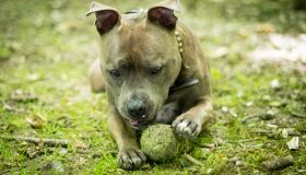 A Staffordshire Bull Terrier paling with a tennis ball
