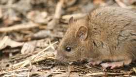 A cute baby Brown Rat (Rattus norvegicus) searching around on the ground for food.