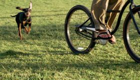 Dog chasing young man riding bicycle across grass