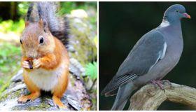 Squirrel, Pigeon, Squigeon