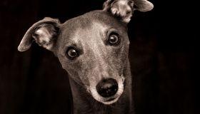 Whippet Dog Portrait