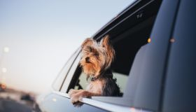 Yorkshire Terrier dog looking out of a car window.